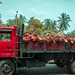 A truckload of palm oil fruit