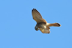 Overhead (Robin M Morrison) Tags: juvenile kestrel portlandbill portland west cliffs