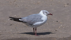 Gray-hooded Gull (Chroicocephalus cirrocephalus) (Gavin Edmondstone) Tags: chroicocephaluscirrocephalus grayheadedgull greyheadedgull gull bird puertoeten peru chroicocephaluscirrocephaluscirrocephalus