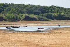 Bubalus sp. (Water Buffalo) and Rusa unicolor (Sambar Deer) wallowing - Yala National Park, Southern Province, Sri Lanka (Nature21290) Tags: april2019 artiodactyla bovidae bubalus cervidae mammalia rusa rusaunicolor sambardeer southernprovince srilanka2019 ungulate