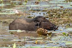 Ardeola grayii (Indian Pond Heron) - Ardeidae - riding Sus scrofa ssp. cristatus (Indian Boar) - Suidae - Yala National Park, Southern Province, Sri Lanka-2 (Nature21290) Tags: april2019 ardeidae ardeola ardeolagrayii aves indianpondheron indianboar mammalia southernprovince srilanka2019 suidae sus susscrofa susscrofasspcristatus yalanationalpark