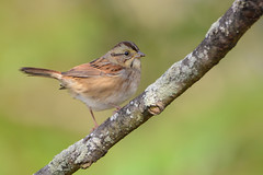 Swamp Sparrow (JDA-Wildlife) Tags: birds nikon nikond7100 tamronsp150600mmf563divc jdawildlife johnny portrait closeup eyecontact sparrows sparrowswamp swampsparrow wow gorgeous brilliant