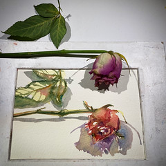 Day 1529. The #rose #painting for today. #watercolour #watercolourakolamble #sketching #stilllife #flower #art #fabrianoartistico #hotpress #paper #dailyproject (akolamble) Tags: rose painting watercolour watercolourakolamble sketching stilllife flower art fabrianoartistico hotpress paper dailyproject