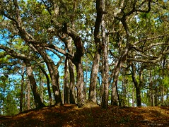 Stand of Live Oaks (surfcaster9) Tags: oaktrees ground florida forest lumixg7 lumix25mmf17asph nature outdoors