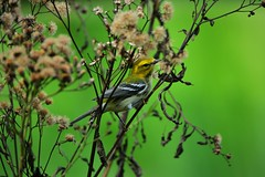 Black-throated Green Warbler by Jackie B. Elmore 10-11-2019 Lincoln Co. KY (jackiebelmore) Tags: setophagavirens blackthroatedgreenwarbler warbler migrant lincolnco kentucky nikon850 tamronsp150600f563 jackiebelmore kos
