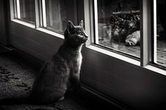 The first rain... (Ageeth van Geest) Tags: cat kitten kitty poes window blackandwhite bw monochrome lotte little