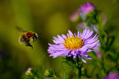 The busy and beautiful (Paul wrights reserved) Tags: bee flight bees beeinflight flying flyingbee insect inflight insectinflight infocus insectmacro macro macrophotography flower flowers wildflowers flowering colour colours colourful vibrant wildlife nature naturephotography pollenation