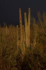 Fruiting Saguaros among Palo Verde trees (Lon&Queta) Tags: arizona cacti desert 2017 usa fruits flickr unitedstatesofamerica gps pinalcounty sanpedrorivervalley saguarocactuscarnegieagigantea
