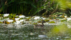 The guardian of the water lily's (Valentin Laurentziu) Tags: nature outdoor duck guardian water lily bird light