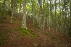 Entre las hayas...278/365 (cienfuegos84) Tags: hayedo hayas tree verde ocre
