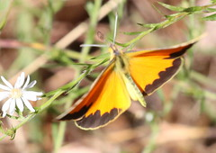 Sleepy Orange at Capik Nature Preserve (Tombo Pixels) Tags: sleepyorange sleepy orange butterfly capik193152 capikpreserve capiknaturepreserve nj newjersey twb1 pinebarrens pinelands inflight flying