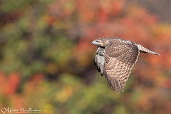 THOSE COLORS! (Red-tailed hawk) (Mitch Vanbeekum Photography) Tags: redtailedhawk red tail redtailed hawk statelinelookout alpine nj newjersey flight flying fly autumn fall foliage leaves colors mitchvanbeekum mitchvanbeekumcom canon14teleconvertermkiii canoneos1dx canonef500mmf4lisiiusm
