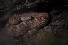 Speckled Rattlesnake (DevinBergquist) Tags: insitu crotalus crotaluspyrrhus speckledrattlesnake rattlesnake herping fieldherping wildlife nature arizona az