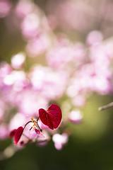 Love garden (Greenstone Girl) Tags: macro yarravalley alowyngardens heart red pink bokeh