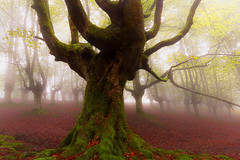 BASOA 5 (juan luis olaeta) Tags: raw photoshop lightroom canon forest fog tree bosque laiñoa nieblas nature paisajes landscape pagoa basquecountry euskalherria