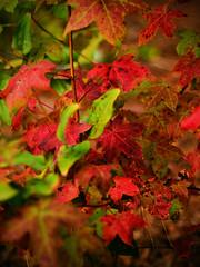 Colors of autumn (02) (Thomas Cizauskas) Tags: autumn leaves color decatur georgia canon canonfd legacylens manualfocus fotodiox