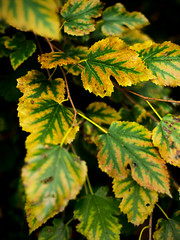 Colors of autumn (01) (Thomas Cizauskas) Tags: autumn leaves color decatur georgia canon canonfd legacylens manualfocus fotodiox