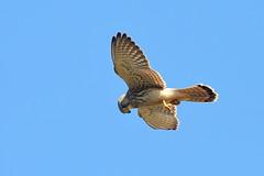 Overhead (Robin M Morrison) Tags: juvenile kestrel west cliffs portland portlandbill
