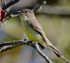 Eastern Phoebe (tresed47) Tags: 2019 201910oct 20191015bombayhooknwr birds bombayhook canon7dmkii content delaware fall flicker flycatcher folder october peterscamera petersphotos phoebe places season takenby us winter