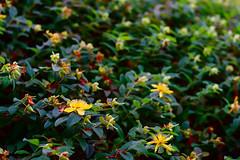 Leftovers (lebre.jaime) Tags: portugal beira covilhã mountainbotanicalgarden flower foliage digital fullframe ff fx nikon d600 voigtländer nokton 58f14sliis nokton5814sliis affinity affinityphoto nature