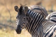 Zebras in Moremi (100er) Tags: afrika zebra botswana safari 100er nikon moremi