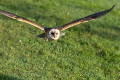 Barn Owl (wrpryde) Tags: nikon nature natur naturaleza nikond5 nikkor200mm oiseau ontario outdoor owl raptor