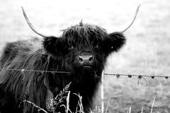 Horny Highlander (mootzie) Tags: black horns highland cow hairy wildlife field agriculture aberdeenshire scotland scottish monochrome nature blackandwhite