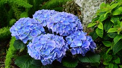 Blue Hydrangea (Jim Mullhaupt) Tags: hydrangea blue plant shrub bush photo flickr geographic picture pictures camera snapshot photography jimmullhaupt nikoncoolpixp900 nikon coolpix p900 nikonp900 coolpixp900