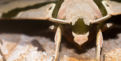 Lepidoptera - Moth (entomopixel) Tags: lepidoptera moth mothface polilla insect insecto insectphotography insectmacro arthropods photography macrophotography macrofotografia