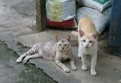 hungry cats (the foreign photographer - ฝรั่งถ่) Tags: two hungry cats khlong thanon portraits bangkhen bangkok thailand canon