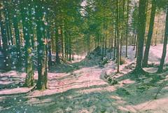 Elemental #161: Pine forest track at sundown on Mount Fløyen, Norway (hedshot) Tags: wild mountain snow tree green film analog 35mm landscape shadows chemistry alchemy filmisnotdead filmisalive filmsoup ingrainwetrust contemporary fineart conceptual