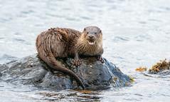 Otter (Chas Moonie-Wild Photography) Tags: otter wild scotland sea loch mammal water