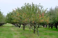 Apple Orchard in Chatham Il (Gene Ellison) Tags: trees apple leaves fruit illinois orchard chatham provia fujilm sooc