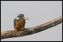 IMG_0062 Kingfisher (Scotchjohnnie) Tags: kingfisher alcedoatthis ornithology bird birdphotography birdwatching ukbirds wildlife wildlifephotography wildandfree wildanimal nature naturephotography canon canoneos canon7dmkii canonef100400f4556lisiiusm scotchjohnnie