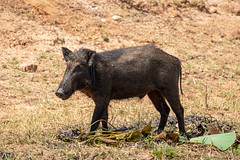 Sus scrofa ssp. cristatus (Indian Boar) male - Suidae - Yala National Park, Southern Province, Sri Lanka-4 (Nature21290) Tags: april2019 indianboar mammalia southernprovince srilanka2019 suidae sus susscrofa susscrofasspcristatus yalanationalpark
