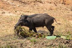 Sus scrofa ssp. cristatus (Indian Boar) male - Suidae - Yala National Park, Southern Province, Sri Lanka-3 (Nature21290) Tags: april2019 indianboar mammalia southernprovince srilanka2019 suidae sus susscrofa susscrofasspcristatus yalanationalpark