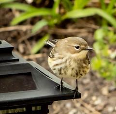Warbler in the Garden (mahar15) Tags: bird outdoors femalewarbler wildlife warbler yellowrumpedwarbler nature