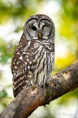 DSC_5309 (chuek.chau) Tags: barredowl owls owl birds animal wildlife planet earth vancouver summer nikon d850 nikon500mmf56epf ngc