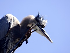 A windy view (EcoSnake) Tags: greatblueheron ardeaherodias gbh birds wildlife fall october windy idahofishandgame naturecenter