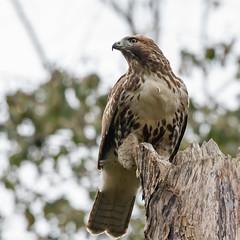 Red-tailed Hawk (nickinthegarden) Tags: redtailedhawks fishtrapcreekpark abbotsfordbccanada