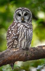 DSC_5270 (chuek.chau) Tags: barredowl owls owl birds animal wildlife planet earth vancouver summer nikon d850 nikon500mmf56epf ngc