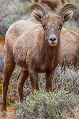 Does This Shade Look Good on Me? (Wycpl) Tags: desertbighorn ewe sheep nevada redlipstick jcpphotography