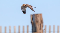 Northern Harrier - Duxbury - 10-15-19 (McDonaldMorgans) Tags: peregrinefalcon redtailedhawk northernmockingbird northernharrier brantrock duxburybeach birding