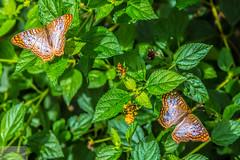 Butterflies Are Free (Wycpl) Tags: butterflies arizona butterflywonderland jcpphotography phoenix