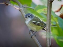 Blue-headed vireo (Goggla) Tags: centralpark blueheaded vireo nyc new york manhattan urban wildlife bird 2019 fall migration goglog