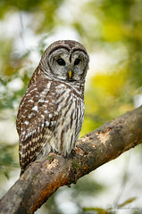DSC_5328 (chuek.chau) Tags: barredowl owls owl birds animal wildlife planet earth vancouver summer nikon d850 nikon500mmf56epf ngc