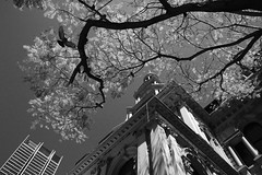 Sydney Town Hall (LSydney) Tags: sydneytownhall bw blackandwhite tree building pigeon sydney city