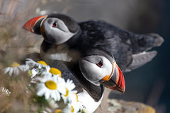 Puffins resting at the edge of the Látrabjarg cliffs in West Iceland (PIERRE LECLERC PHOTO) Tags: puffin bird seabirds iceland birdwatching puffincolonies latrabjarg icelandphotos icelandadventure westfjords wild wildlife seacliffs westoficeland nature puffinbird beak feathers grass nest rest sea arcticsea travel flowers daisies pierreleclercphotography