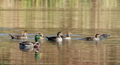 Hooded Mergansers & Mallard (barbmerrill2) Tags: bird duck merganser hornpond winchester massachusetts usa mondaybirding