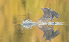 Grand Héron // Great Blue Heron (Alexandre Légaré) Tags: grand héron great blue heron ardea herodias oiseau bird avian animal wildlife nature nikon d7500 sherbrooke quebec canada